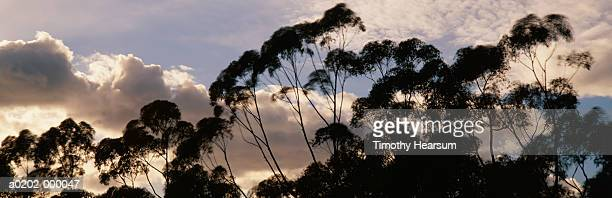 eucalyptus trees and sky - timothy hearsum stock pictures, royalty-free photos & images