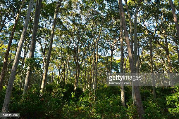 Eucalyptus Trees in Bush