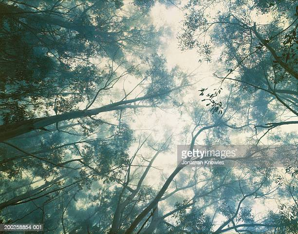 Eucalyptus trees in misty rainforest, view from below
