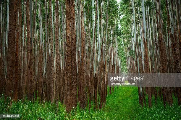 eucalyptus trees (eucalyptus cloeziana) - timothy hearsum stock pictures, royalty-free photos & images
