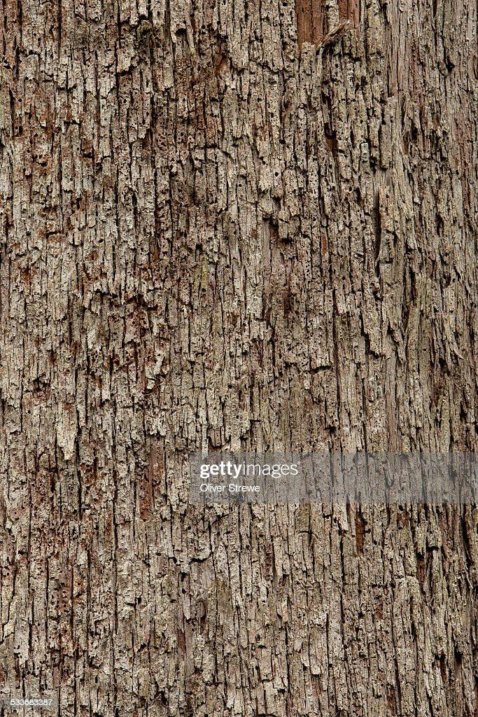 Eucalyptus trees : Foto stock