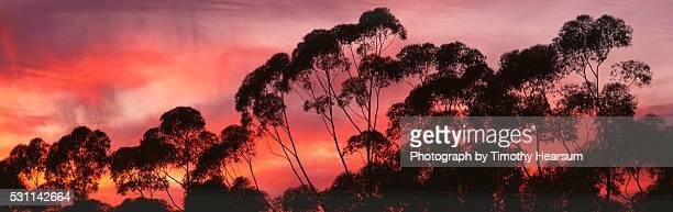 eucalyptus treetops - timothy hearsum ストックフォトと画像