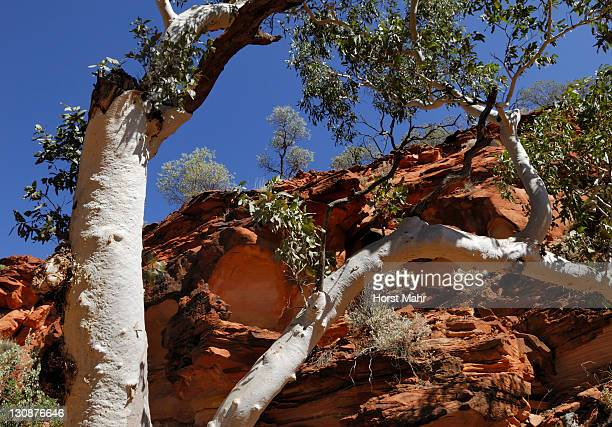 Eucalyptus with white bark against red rock formations in Kings Canyon, Watarrka National Park, Northern Territory, Australia