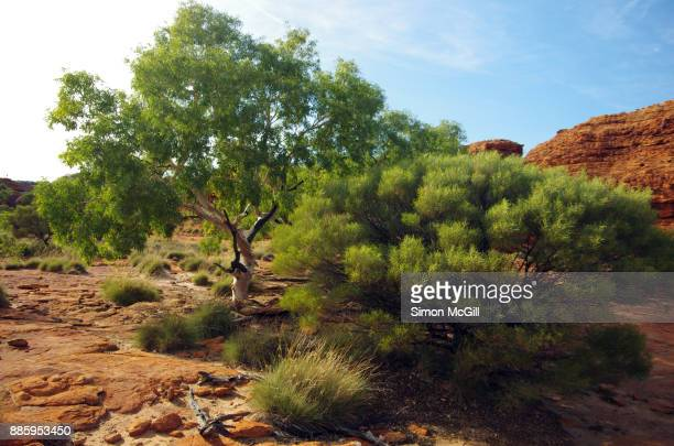 Eucalytus tree and a shrub growing in tough conditions on the Rim Walk at Kings Canyon, Watarrka National Park, Northern Territory, Australia