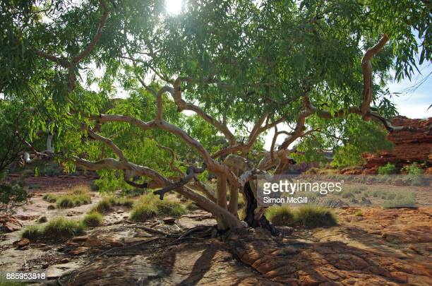 Eucalytus tree growing in rocky, tough conditions on the Rim Walk at Kings Canyon, Watarrka National Park, Northern Territory, Australia