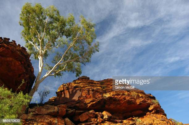 Eucalytus tree growing in tough conditions on the Mereenie sandstone domes on the route of the Rim Walk at Kings Canyon, Watarrka National Park, Northern Territory, Australia