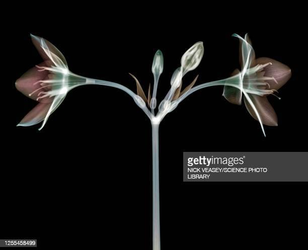 eucharis lily, x-ray - x ray image ストックフォトと画像