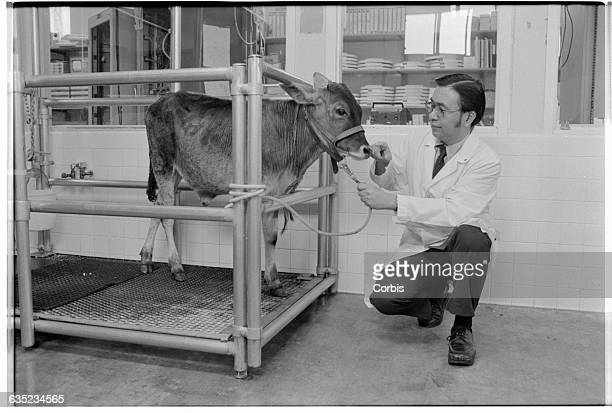 Eugene Dong a heart surgeon at Stanford Medical School pets a calf with an artificial heart Dong is waging a campaign against the use of plutonium in...