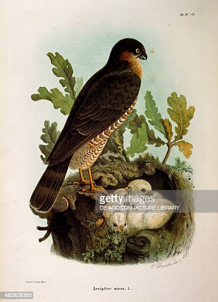 Eugenio Bettoni Storia naturale degli uccelli che nidificano in Lombardia Eurasian Sparrowhawk Plate 583 engraving by Oscar Dressler