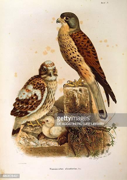 Eugenio Bettoni Storia naturale degli uccelli che nidificano in Lombardia Common Kestrel Plate 352 engraving by Oscar Dressler