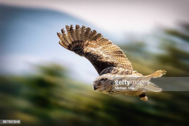 eule - great horned owl stock pictures, royalty-free photos & images