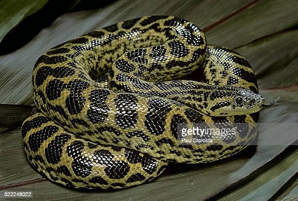 eunectes notaeus (yellow anaconda) - anaconda snake stock pictures, royalty-free photos & images