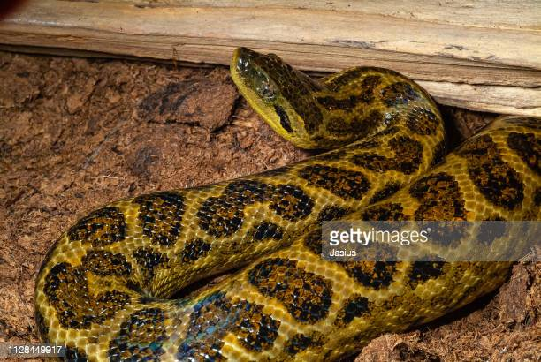 60 Top Anaconda Snake Pictures, Photos, & Images - Getty Images