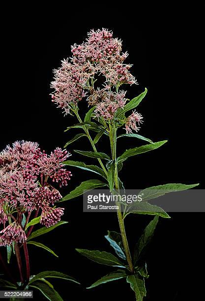 Eupatorium cannabinum (hemp agrimony, holy rope)