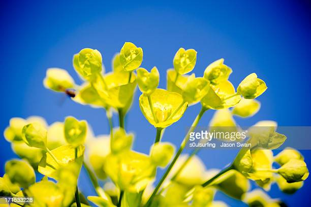 euphorbia blues - s0ulsurfing stock pictures, royalty-free photos & images