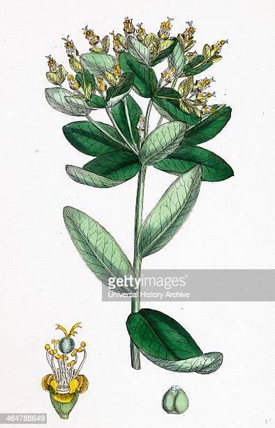 Euphorbia hiberna Irish Spurge
