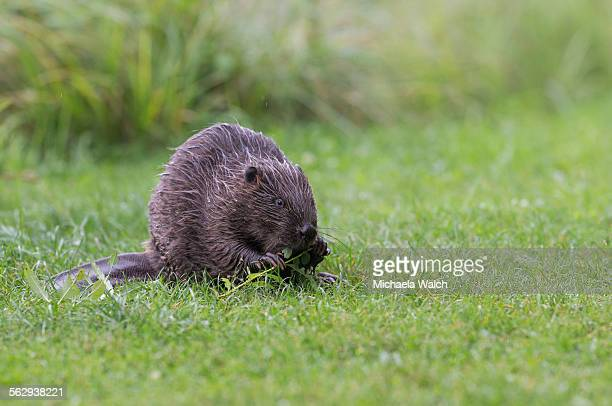 eurasian beaver -castor fiber- feeding on a willow branch, tyrol, austria - animal digestive system stock photos and pictures