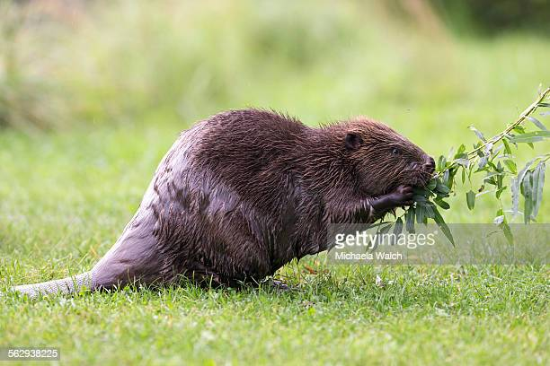 Eurasian Beaver -Castor fiber- feeding on a willow branch, Tyrol, Austria