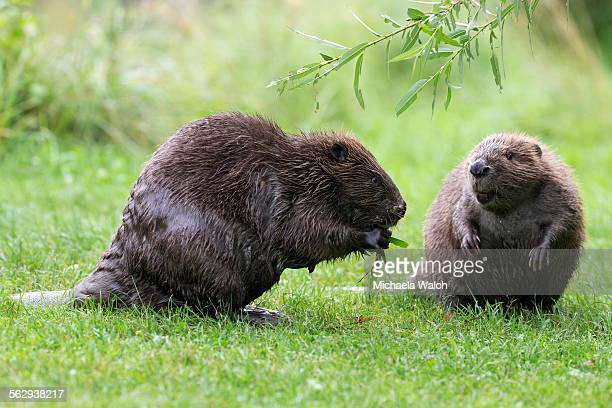 Eurasian beaver -Castor fiber-, one feeding on a willow branch, Tyrol, Austria