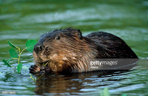 Eurasian beaver / European beaver feeding on leaves in pond Poland