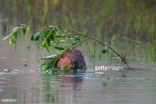 Eurasian beaver / European beaver in pond nibbling on willow leaves