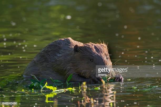 Eurasian beaver / European beaver nibbling on willow twig in pond