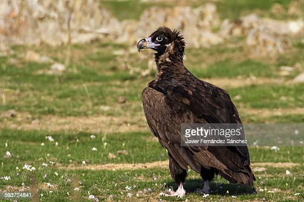 Eurasian black vulture. Aegypius monachus.