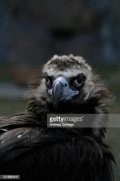 A Eurasian Black Vulture (Aegypius monachus)