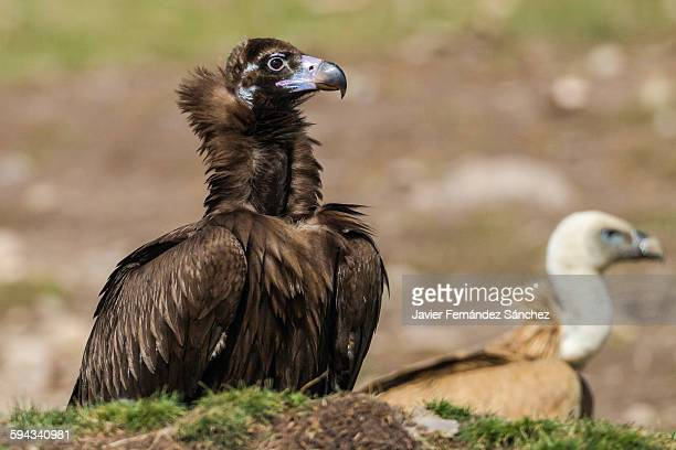 Eurasian black vulture portrait