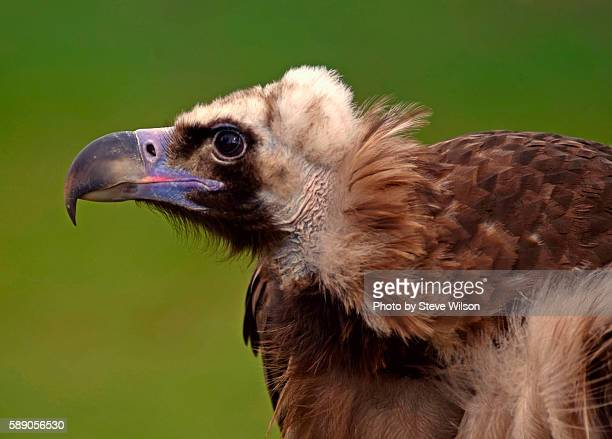 Eurasian Black Vulture Profile