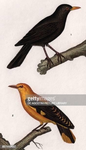 1 Eurasian Blackbird 2 Eurasian golden oriole colour copper engraving retouched in watercolour 9x15 cm from Dizionario delle scienze naturali...