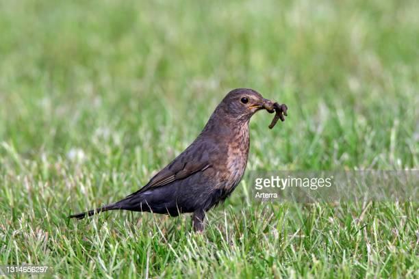 Eurasian blackbird / common blackbird female with caught earthworm prey in beak on lawn in garden.