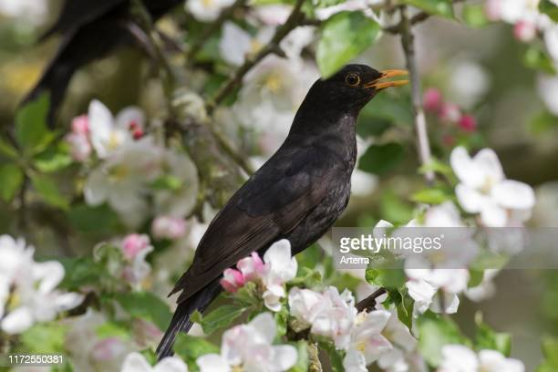 Eurasian blackbird / common blackbird male perched in flowering apple tree and singing in spring