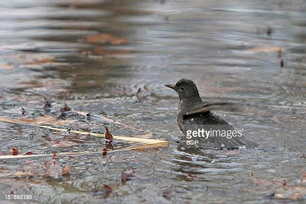 Eurasian Blackbird Eurasian Blackbird Picture Taken In Oise FranceTurdus Merula Eurasian Blackbird Blackbird Muscicapid Passerine Bird