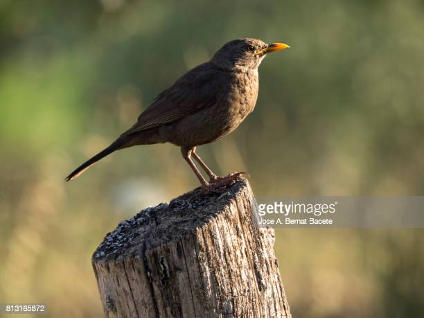 eurasian blackbird, turdus merula, female, standing on an old tree trunk in the field on a green background - day old chicks stock photos and pictures