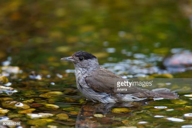 Eurasian blackcap male bathing in shallow water of brook