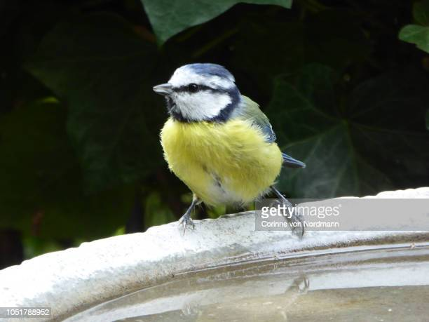 eurasian blue tit bird at birdbath - cyanistes caeruleus - eurasia stock pictures, royalty-free photos & images