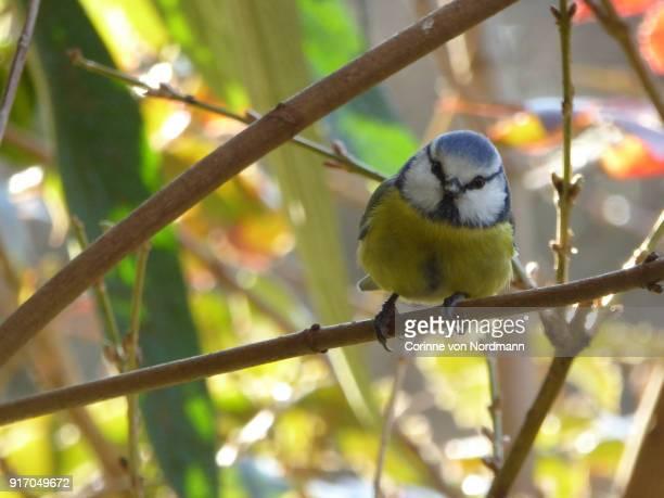 Eurasian Blue Tit Bird - Cyanistes caeruleus