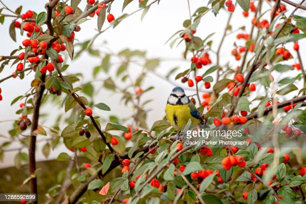 eurasian blue tit bird perched on a plant stem amongst red berries - limb body part stock pictures, royalty-free photos & images