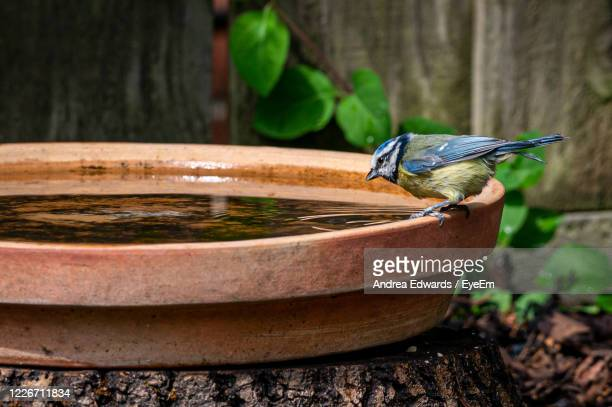 eurasian blue tit, cyanistes caeruleus, perched by the side of a bird bath drinking water - drinking stock pictures, royalty-free photos & images
