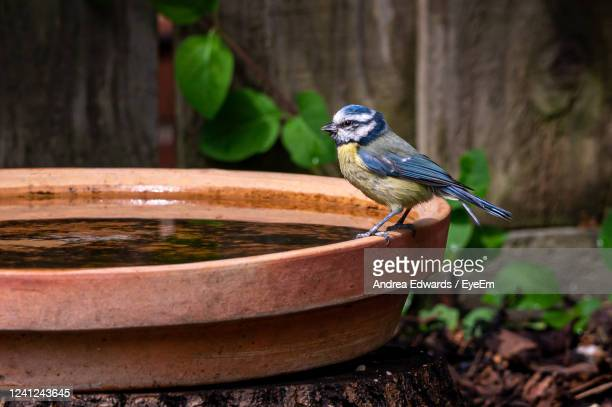 eurasian blue tit, cyanistes caeruleus, perched by the side of a bird bath - wildlife stock pictures, royalty-free photos & images