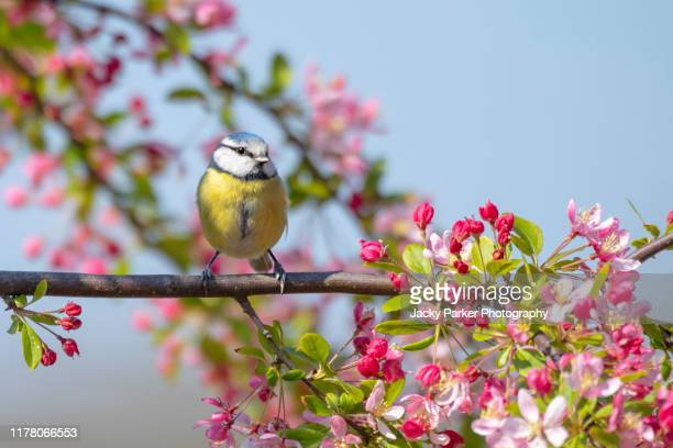 eurasian blue tit garden bird perched on the branch of a spring flowering crab apple tree with blossom - springtime stock pictures, royalty-free photos & images