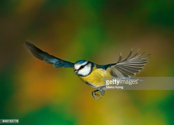 eurasian blue tit (cyanistes caeruleus, parus caeruleus) in flight, hesse, germany - bluetit stock photos and pictures