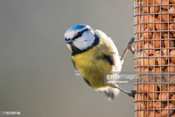 eurasian blue tit on peanut bird feeder - bird stock pictures, royalty-free photos & images