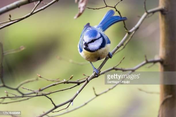 eurasian blue tit (cyanistes caeruleus) perched on a beech tree - 止まる ストックフォトと画像
