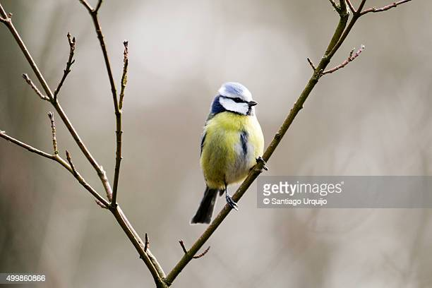 eurasian blue tit (cyanistes caeruleus) perched on a branch - bluetit stock photos and pictures