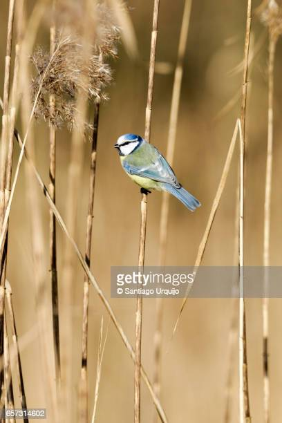 Eurasian blue tit (Cyanistes caeruleus) perched on a branch