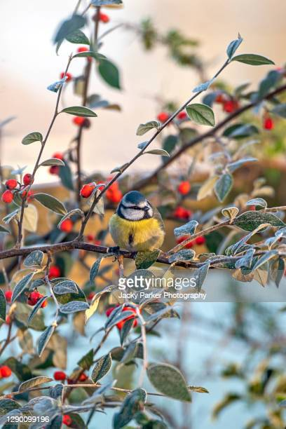 eurasian blue tit perched on a branch surrounded by festive red berries - bird stock pictures, royalty-free photos & images