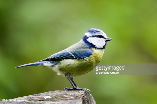 Eurasian blue tit perched on a tree trunk