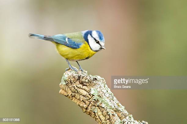eurasian blue tit - yellow perch stock photos and pictures